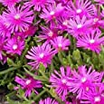 Outsidepride Ice Plant Table Mountain - 500 Seeds