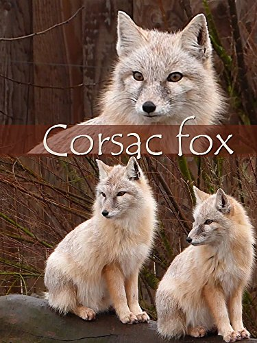 Corsac fox on Amazon Prime Instant Video UK