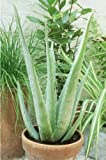 Aloe Vera Medicine Plant
