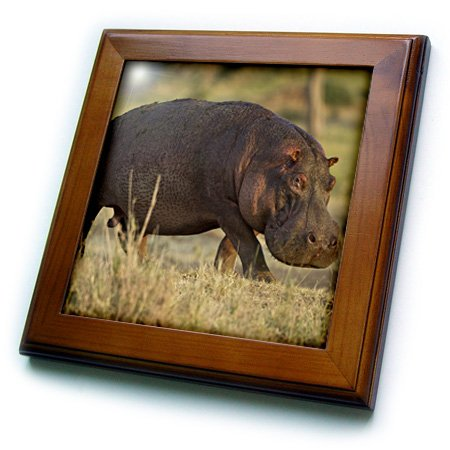 Danita Delimont - Hippos - Tanzania, Serengeti, Moru Kopjes, Hippos - AF45 JMC0030 - Joe and Mary Ann McDonald - Framed Tiles corporate real estate management in tanzania