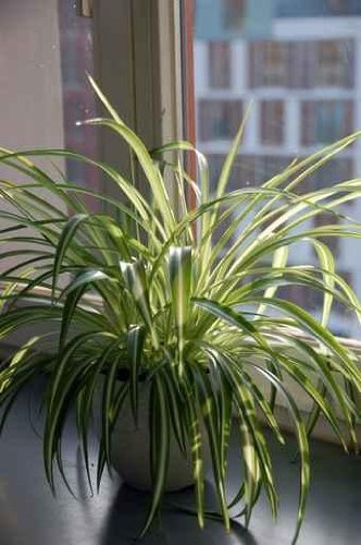 Spider Plant by the Window - 30