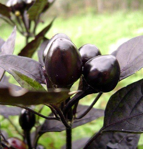 Black Pearl Hot Pepper