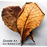 SunGrow 10 Pieces Indian Almond Leaves for Live Betta Tropical Fish Tank Blackwater USA