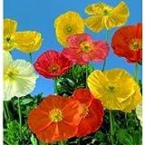 Papaver - Wonderland Series Mixed - 50 Seeds