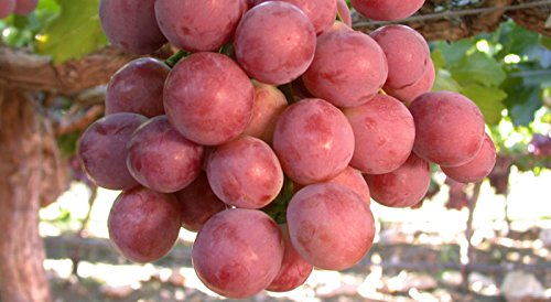 Grape Seeds - RED GLOBE - Mildly Sweet Fruit - Medicinal - Gmo Free - 15 Seeds (Ruby Roman Grapes compare prices)