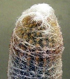 Andes Old Man Cactus - Oreocereus - 2