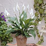 Spathiphyllum Chopin Peace Lily - 1 plant
