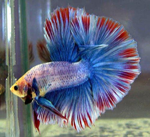 Signs of illness in betta for Betta fish swim bladder