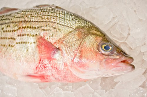Striped Bass - Fresh Fish (Per Pound)