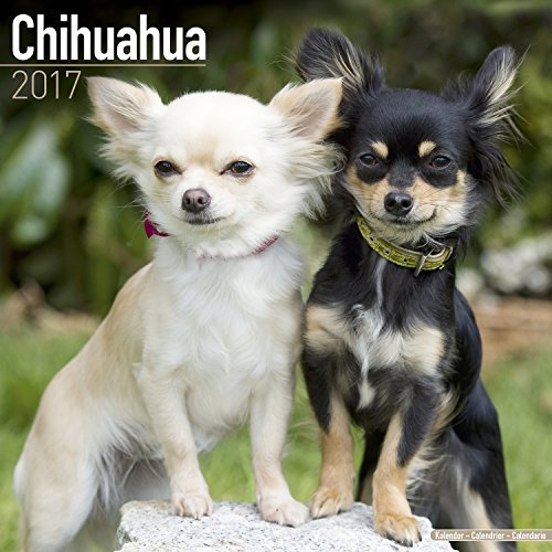 chihuahua calendar 2017 square. Black Bedroom Furniture Sets. Home Design Ideas