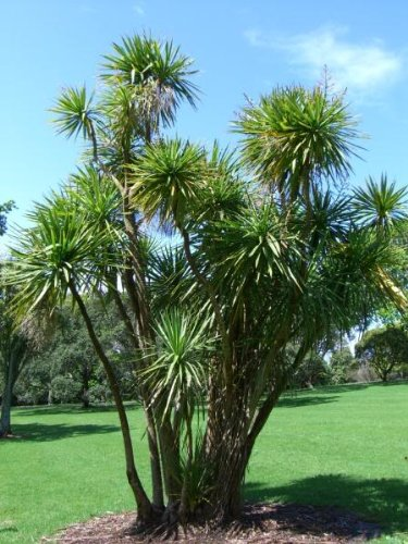 Giant Dracaena Seeds