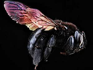 Amazon.com: Carpenter bee - Art Print on Canvas (24x16 inches