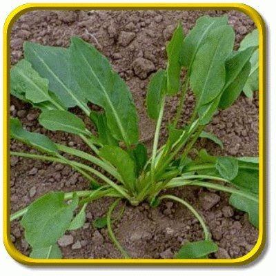 Large-Sorrel-Seeds
