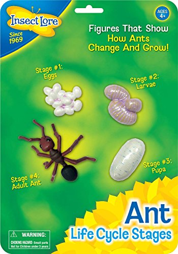 Insect Lore Ant Life Cycle Stages