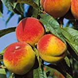 Pfirsich Prunus persica Benedicte 7,5 L Co.