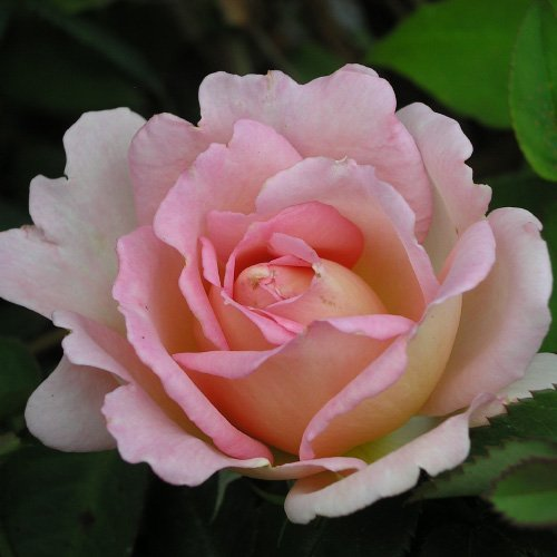 ROSE JANET-Ideal Birthday Gift/Plant & Flower,Gifts For Mum,Mom,Grandma,Granny,Her