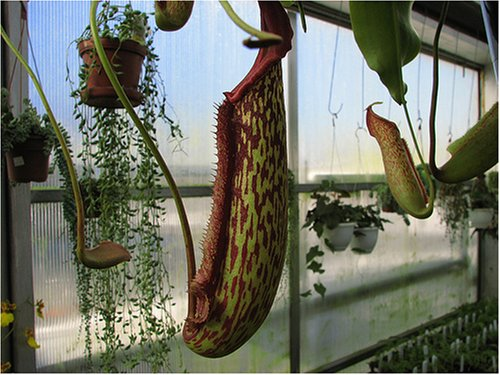 Nepenthes Pitcher Plant Care Pitcher Plant Nepenthes