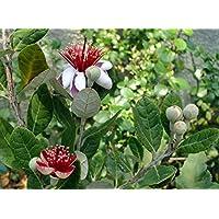 Pineapple Guava Plant - Feijoa - Acca sellowiana - 4