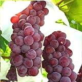 最高ブランドぶどう産地山梨県勝沼のデラウェア2キロ1300年伝統のブドウ産地 ランキングお取り寄せ