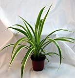 "Ocean Spider Plant - Easy to Grow - Cleans the Air - NEW - 4"" Pot"