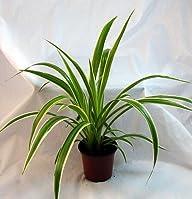 Ocean Spider Plant – Easy to Grow – C…