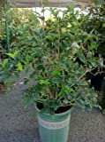 Osmanthus Fragrans Plant -- 12 by 12 Inch Container