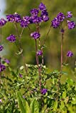 Just Seed Wild Flower Aquilegia vulgaris Columbine 100 Seed