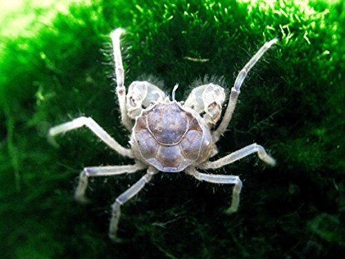 5 Live Thai Micro Spider Crabs (Limnopilos naiyanetri) - 1/4 to 1/2 inch in diameter - Fully Aquatic! by Aquatic Arts (Thai Micro Crab compare prices)