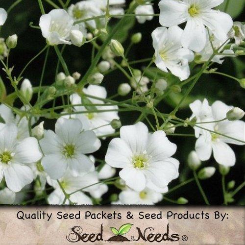 500 Seeds, Baby'S Breath (Gyposophila Elegans) Seeds By Seed Needs