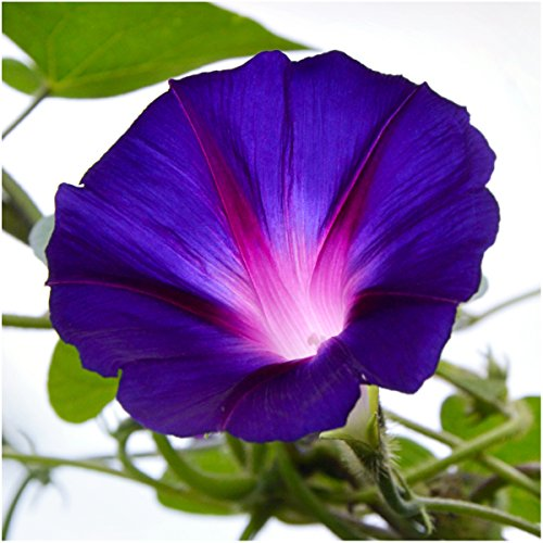 package-of-100-seeds-grandpa-ott-morning-glory-ipomea-purpurea-non-gmo-seeds-by-seed-needs