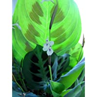 Green Prayer Plant - Maranta - Easy to grow