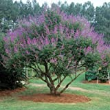 50 Seeds of Chaste Tree Official / Vitex agnus-castus