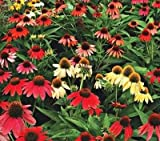 Echinacea Cheyenne Spirit (Coneflower) Plant Two litre pot