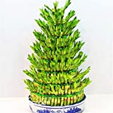 Big Sale!DIY a Bamboo House Good Luck Bamboo Seeds ,Dracaena Seeds Potted Also Known As Prosperous Tower - 100 Seeds/Bag,#ZZFOJQ