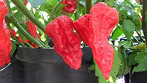 King Naga Hot Pepper 10+ Seeds