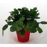 Hirt's White Christmas Cactus Plant - Zygocactus - 4