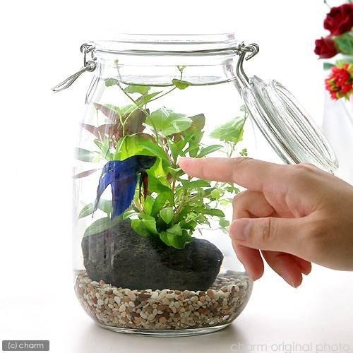 (水草)私の小さなアクアリウム ~ベタと水草の共演~ 水草と生体キット 1セット 説明書付き 本州・四国限定