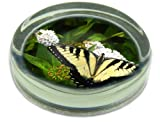 Pretty Butterflies Glass Paperweight Animal Gift, Ref:IBU-1PW