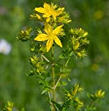 Wildflower - Perforate St John's Wort - 4000 Seeds