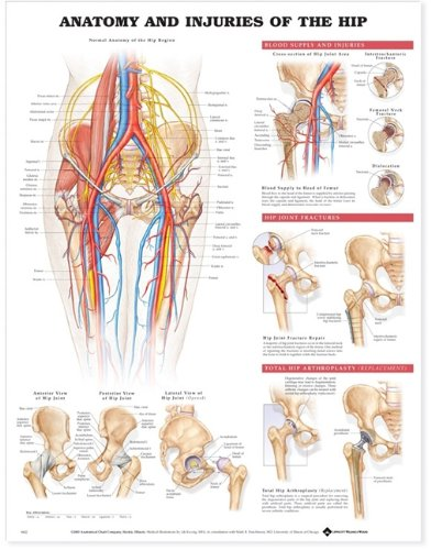 Anatomy and Injuries of the Hip Anatomical Chart (Anatomy Chart Muscles compare prices)