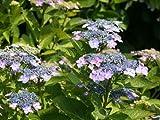 【1年間枯れ保証】【春に花が咲く木】ガクアジサイ 10.5cmポット
