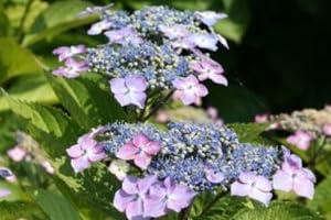 【6か月枯れ保証】【春に花が咲く木】ガクアジサイ 0.5m露地 50本セット