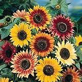 Outsidepride Sunflower Autumn Beauty - 1/4 LB