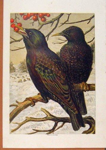 Blackbirds Eating Berrys