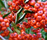 Sycamore Trading PYRACANTHA Red Column x 5 Young Plants