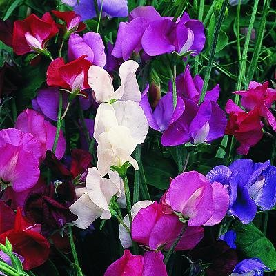 sweet-pea-giant-spencer-waved-mixed-25-seeds