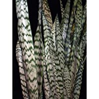 'Zeylanica' Snake Plant, Mother-In-Law's Tongue - Sanseveria - 6