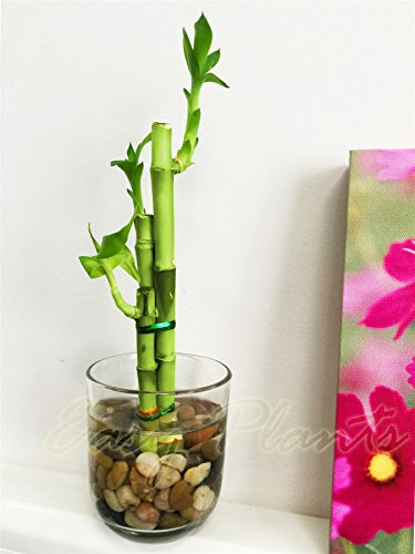 1-lucky-bamboo-in-cylinder-round-glass-vase-with-pebbles-3-stalks