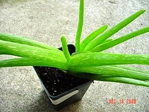 Aloe vera plant jardin pelouse entretien jardin - Aloe vera entretien ...