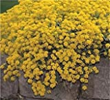 SeeKay Alyssum Montanum Mountain Gold - Appx 300 seeds - Perennial
